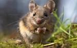 К чему в доме появляются мыши: подробное толкование приметы
