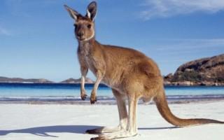 Видеть во сне кенгуру женщине или мужчине