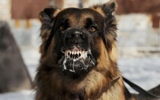 К чему приснилась бешеная собака