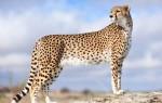 Увидеть во сне гепарда женщине или мужчине