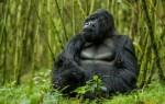 Приснилась горилла – толкование сна для женщин и мужчин