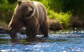 Приснился большой бурый медведь – сонник для женщин и мужчин