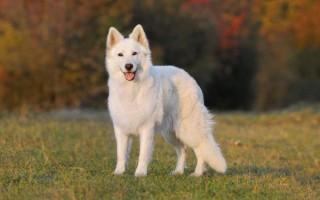 К чему приснилась маленькая или большая белая собака