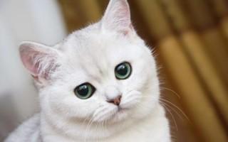 К чему приснилась белая кошка