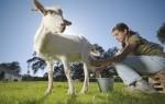 К чему приснилось доить козу