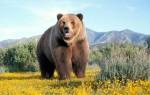 К чему приснился медведь