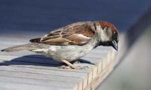 К чему птица залетела на балкон?