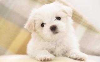 К чему парням и девушкам снится белый щенок