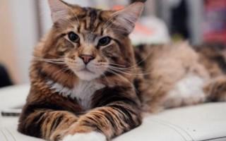 К чему снится большая кошка или кот