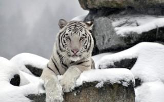 К чему снится белый тигр во сне для женщины