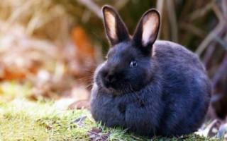 Приснился черный кролик женщине или мужчине – сонник