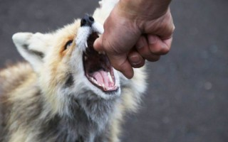 К чему приснился укус лисы