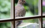 К чему голубь постучал в окно — значение приметы
