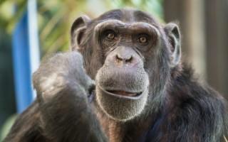 Приснилась большая обезьяна женщине или мужчине – сонник