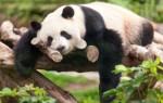 Приснилась панда – толкование сна