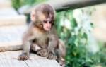 Приснилась обезьянка маленькая женщине или мужчине – сонник