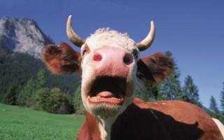 К чему снится корова с рогами где она нападает и бодается