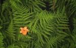Цветок папоротника: что это за оберег, значение славянского символа?