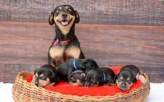 Приснилось, что собака родила щенков – к чему это по соннику