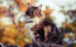 Приметы про трехцветную кошку в доме