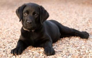 К чему приснился черный щенок