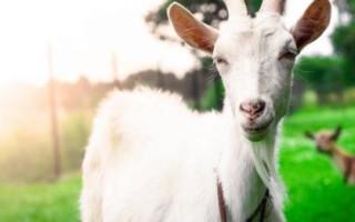 К чему снится белая коза женщинам и мужчинам