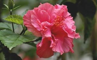 Почему китайскую розу называют цветком смерти?