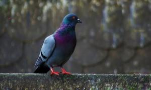 К чему голубь садится на подоконник?