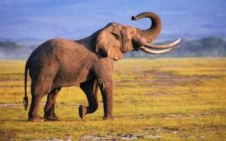 К чему приснился слон женщине, мужчине