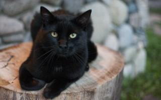К чему приснилась черная кошка – толкование для женщин и мужчин