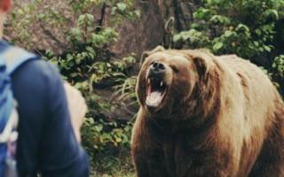 Дикий медведь нападает – толкование сонников