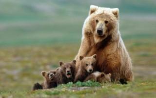 К чему мужчинам и женщинам снится медведица