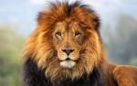 К чему увидеть во сне льва: толкование по соннику для женщин и мужчин