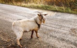 Приснился козел с рогами – толкование сонников