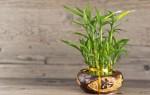 Комнатный бамбук – приметы и суеверия
