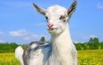 Видеть во сне козу женщине или мужчине – сонник
