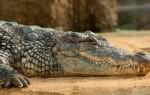 К чему приснился крокодил