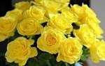 Желтые розы: дарить или нет?