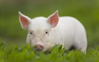 К чему снятся свиньи – толкование по различным сонникам