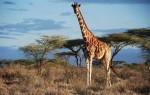 Приснился жираф: толкование сонника в зависимости от пола