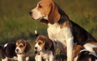 К чему снится собака со щенками женщине или мужчине