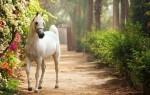 К чему приснилась белая лошадь