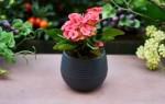 Можно ли согласно приметам дарить цветы в горшках на день рождения?