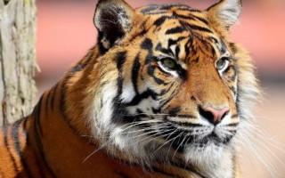 К чему приснился тигр – толкование для женщин и мужчин