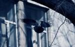 К чему птица бьется в окно?