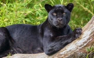 Видеть во сне черную пантеру – сонник для женщин и мужчин