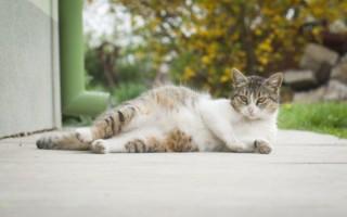 К чему приснилась беременная кошка