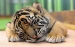 Приснился маленький тигренок – значение сна для женщин и мужчин
