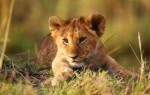 Приснился львенок – к чему это по соннику