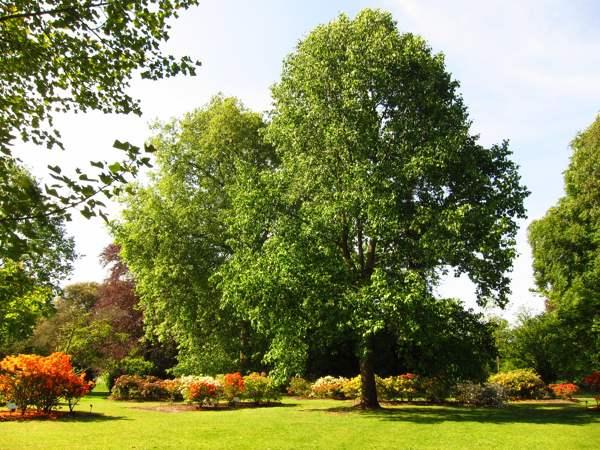 Какие деревья и кустарники являются природными барометрами